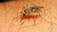 Tigermücken nehmen zu