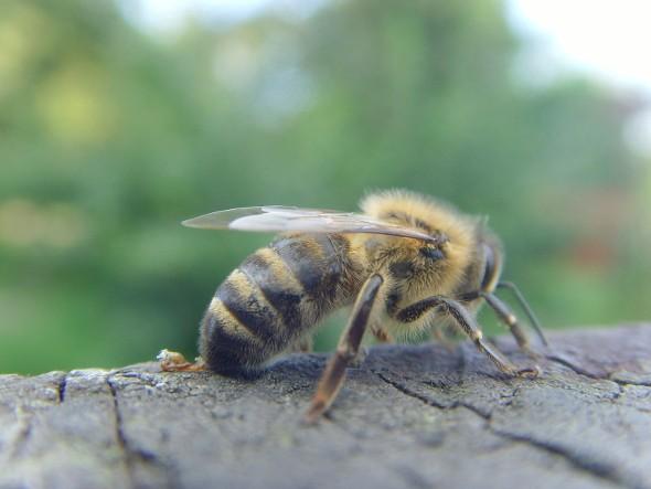 Hängt das Bienenstreben mit Glyphosat zusammen?