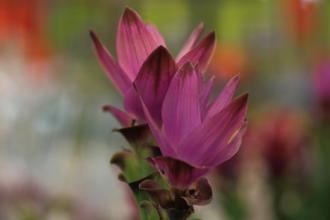 Der Kurkumastrauch blüht violett und bildet eine kräftige gelbe Wurzel aus.
