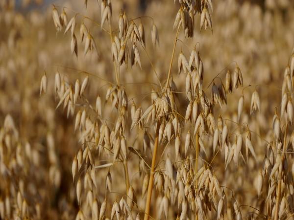 Gesundes Getreide Hafer