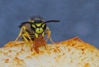 Auch Wespen mögen süße Lebensmittel.